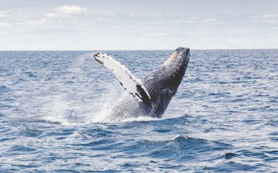 How to See Humpback Whales in the Turks & Caicos